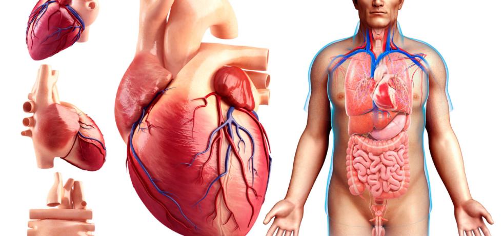 El Corazón como bomba y el ciclo cardíaco